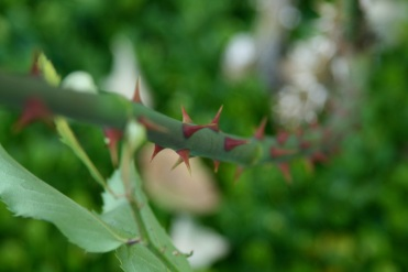 Thorns again