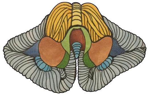 Cerebellum - Anterior View