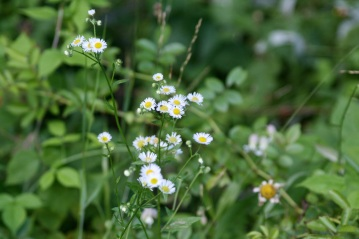 cluster of daisys