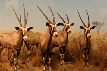 straight horns