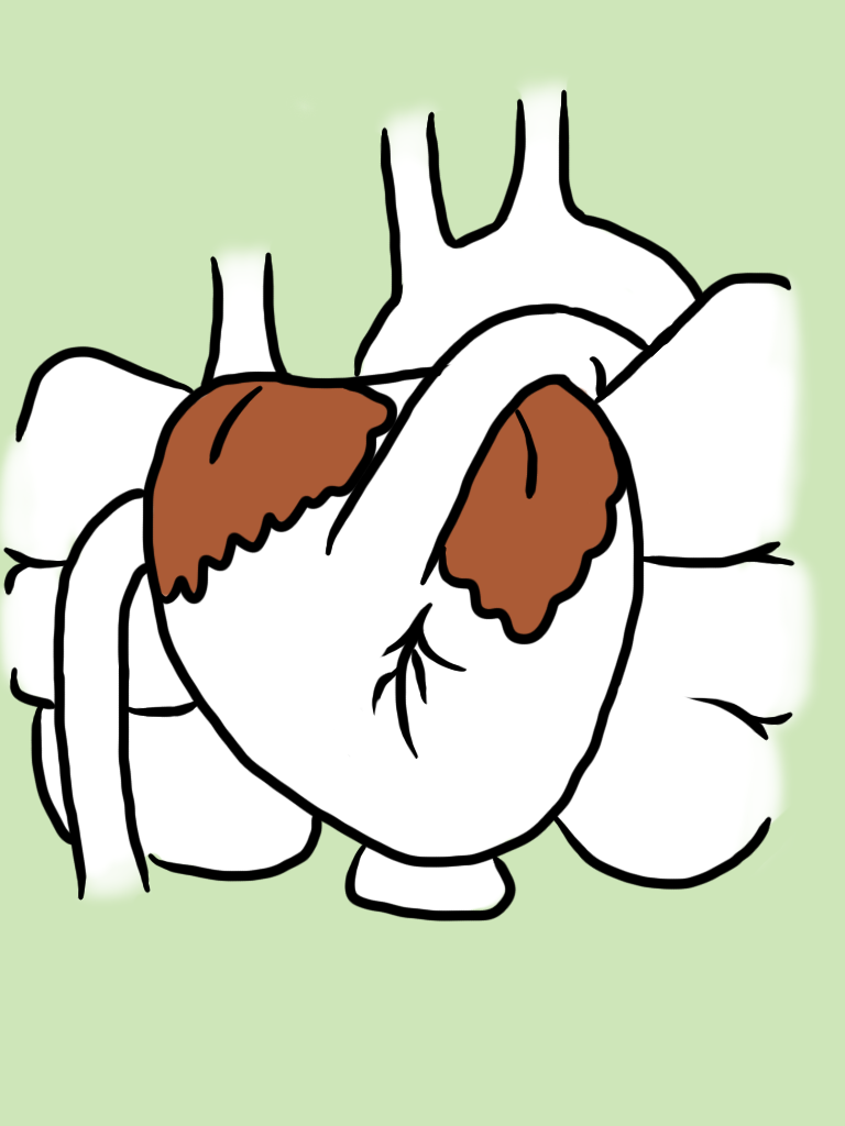 Heart Anatomy – Fetal Pig – pocketfullofbees